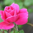 Rosebud in the Rain by Saffron2287