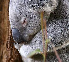 Koala Bear by Harry Ting