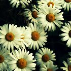 daisies by Acia Lo