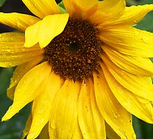 Sunflower in Tuscanny 1 by stellelove