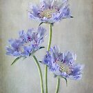 Sweet Scabious by Mandy Disher