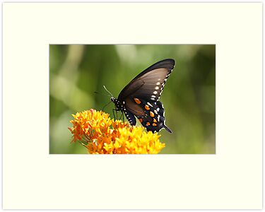 Black Tiger Swallowtail by Gregg Williams