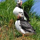 Puffin watch by Angela1