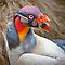 King Vulture Portrait .......  by jdmphotography