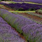 Lavender Fields ii by Lynn Ede