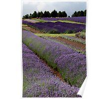 Lavender Fields ii Poster