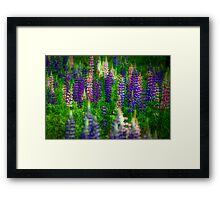 Lupins Framed Print