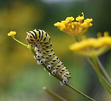 Black Swallowtail Caterpillar Munching a Bronze Fennel Flower by Catherine Sherman