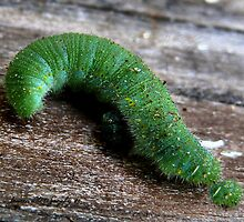 The Inquisitive Caterpillar by Carla Jensen