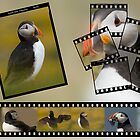 Farne Island Puffins by David Lewins LRPS