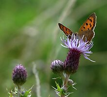 Female Small Copper 01 by Sharon Perrett