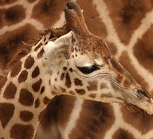 Baby Giraffe by Franco De Luca Calce