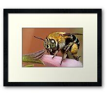 Blue Banded Bee Framed Print