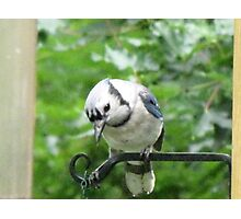 Blue Jay ready and waiting for his breakfast!!!  Photographic Print