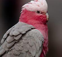 Galah by Margot Kiesskalt