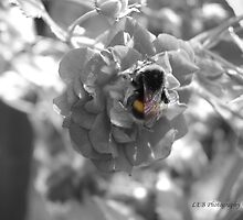 BlacknWhite Bumble Bee by Louise Brown