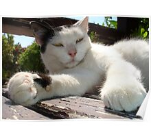Black and White Bicolor Cat Lounging on A Park Bench Poster