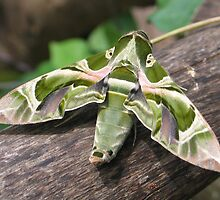 Moth  by jaycraft