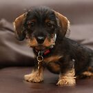 Dachshunds of Perth by adellecousins