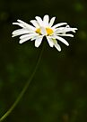 The Beauty of Daisy by Svetlana Sewell