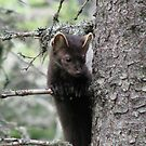 Pine Martin in Pukaskwa National Park - Heron Bay Ontario Canada by loralea