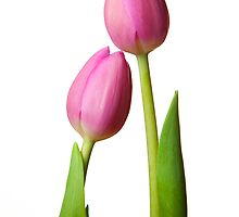 Two Tulips by RobYoung