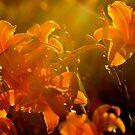Orange Flowers Light by Tamela J Wolff