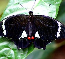 Male Orchard or Citrus Swallowtail Butterfly (Papilio Aegeus) by Melanie Roberts