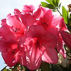 pink flowers in the sun by ChaosRain