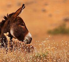 Donkey by Ilcho Trajkovski