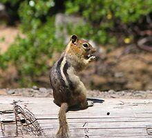 Chipmunk by carpenter777