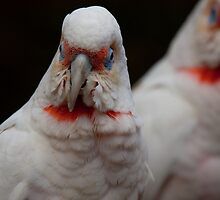 Long-Billed Corellas by Margot Kiesskalt