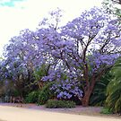 Jacaranda Mimosifolia by Clive