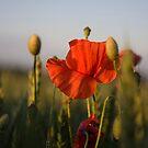 Poppy by Kasia Fiszer