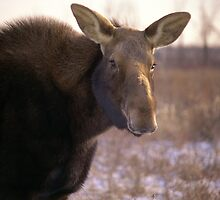 Mademoiselle Moose by Mike Oxley