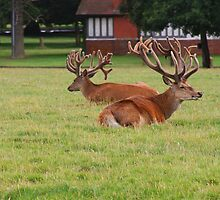 Two Stags resting by VRobinson