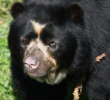 Male Spectacled Bear by Franco De Luca Calce