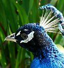 bright blue peacock by tego53