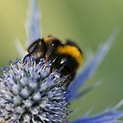 Bee on a Thistle by Mike Butchart