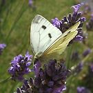 The Dreaded Cabbage White by MaryMina