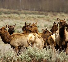 Elk Herd - Teton National Park by Stephen Beattie