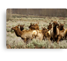 Elk Herd - Teton National Park Canvas Print