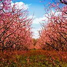 Peach blossoms by (Tallow) Dave  Van de Laar