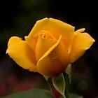 Zurich Rose II by Albert Crawford