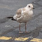 Young Gull by James  Birkbeck Animals