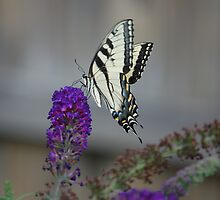 tiger striped swallowtail butterfly by paul gavin