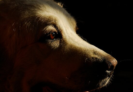 Pyrenean Mountain Dog by triciamary