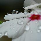 Delicate Dew Drops by Nicole Remolde