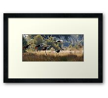 Wattled Cranes - Okavango Delta, Botswana. Framed Print