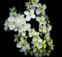 Small White flowers by Karen  Betts